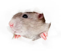 rats-in-attic-removal